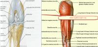 diz-anatomisi