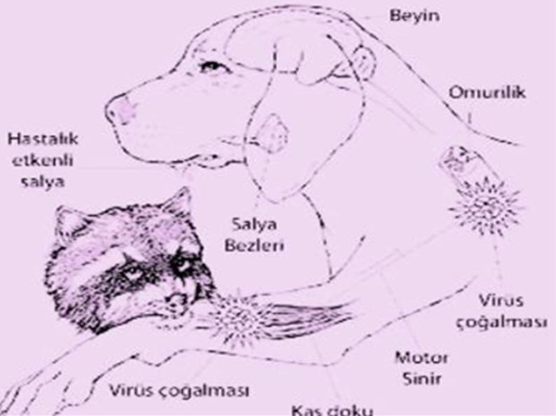 Kuduz hastalığı neden olur