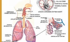solunum-fizyolojisi