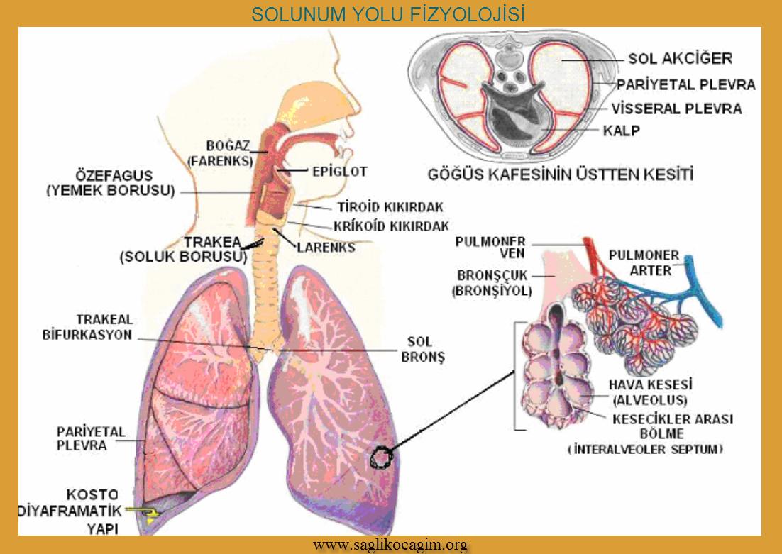 Solunum yetmezliği ile giden Akciğer hastalıklar ile ilgili görsel sonucu