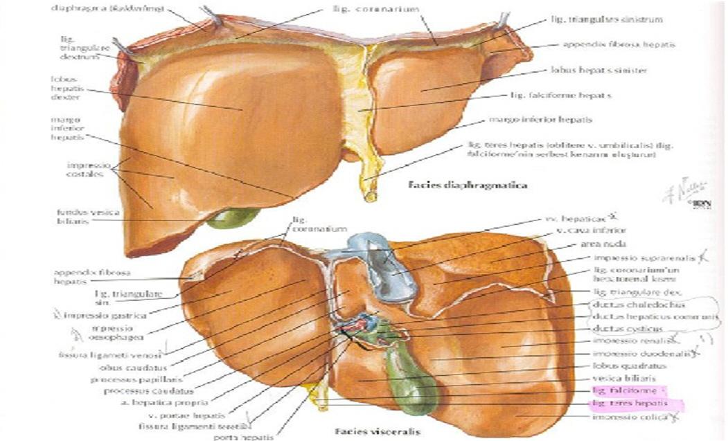 Karaciğerin anatomik yapısı nedir