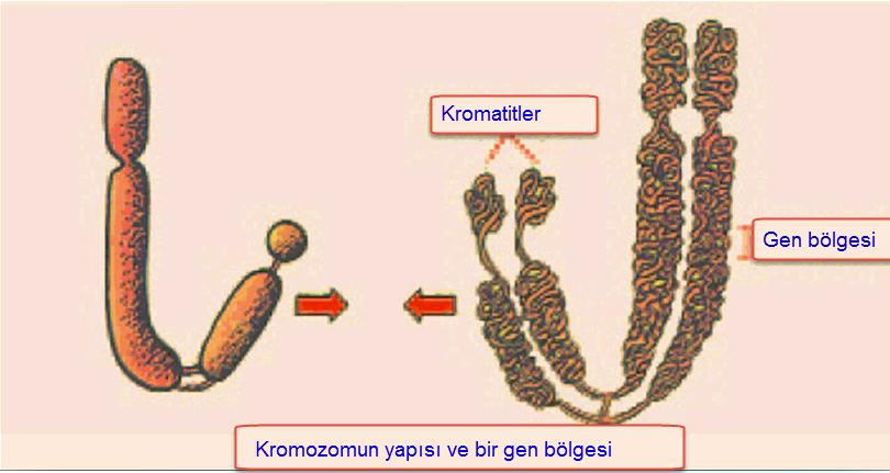 Genetik bozukluklar nedir