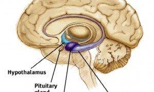 Hipotalamus nedir