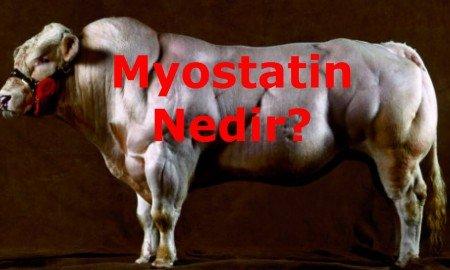Myostatin canlılarda kasların gelişmesini düzenleyen bir protein çeşididir.