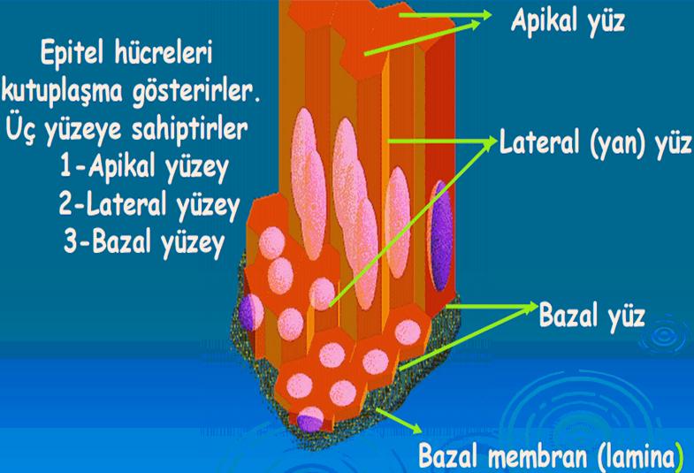 Bazal membran nedir
