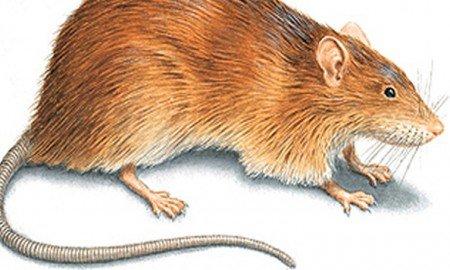 Sıçanlar ilr bulaşan hastalıklar