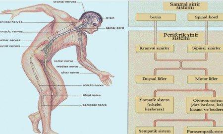 Sinir sistemi hasarı neden olur
